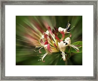 Honeysuckle Breeze Framed Print by Gill Billington