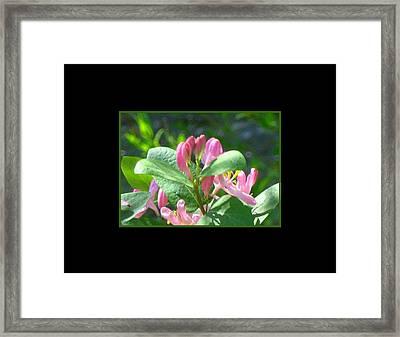 Honeysuckle Pink Photograph Framed Print by Gretchen Wrede