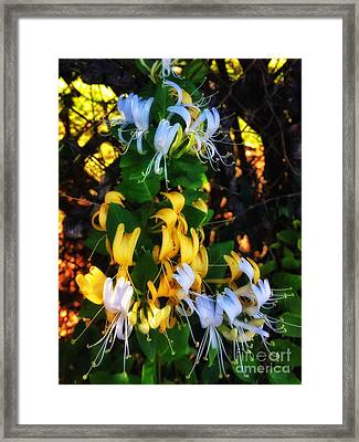 Honeysuckle Sweet Framed Print