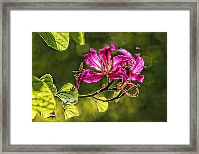 Hong Kong Orchid Blossom Framed Print