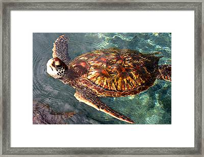 Honu Green Sea Turtle Maui Hawaii Framed Print by Pierre Leclerc Photography