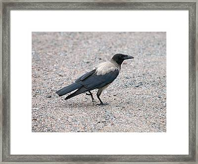 Framed Print featuring the photograph Hooded Crow by Jouko Lehto