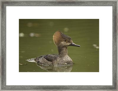 Hooded Merganser Framed Print