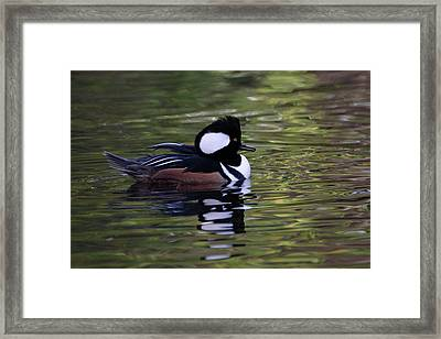 Hooded Merganser Duck Framed Print