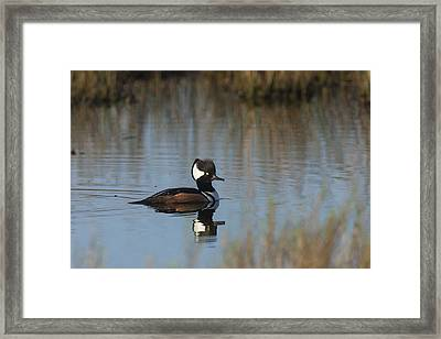 Hooded Merganser In The Early Morning Light Framed Print