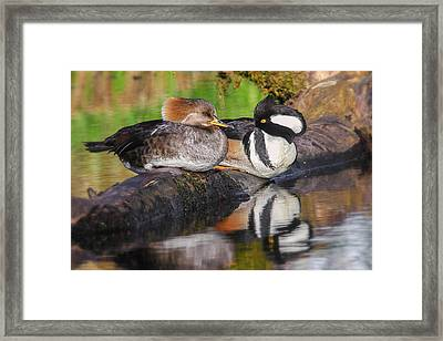 Hooded Merganser Pair Framed Print