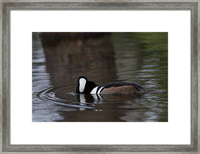 Hooded Merganser Preparing To Dive Framed Print
