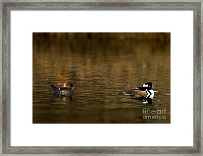 Hooded Mergansers Framed Print