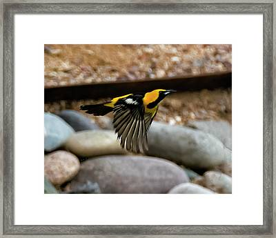 Framed Print featuring the photograph Hooded Oriole H37 by Mark Myhaver