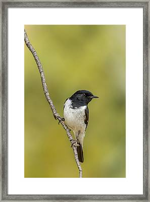 Hooded Robin Framed Print