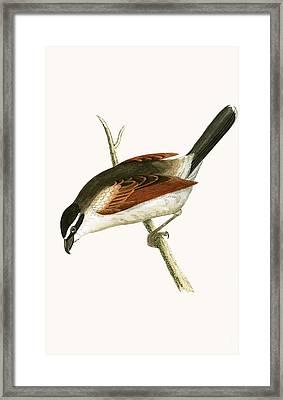 Hooded Shrike Framed Print