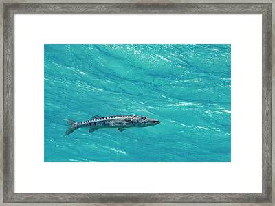 Hoovering Barracuda Framed Print by Jean Noren