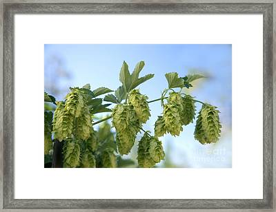 Hop Cones Framed Print by Inga Spence