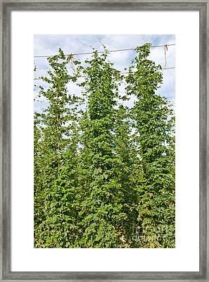 Hop Vines Framed Print by Inga Spence