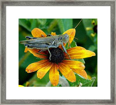 Framed Print featuring the photograph Hopper On Black Susan Flower by Jeanette Oberholtzer