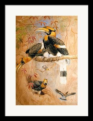 Hornbill Framed Prints