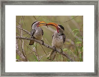 Hornbill Love Framed Print by Bruce J Robinson
