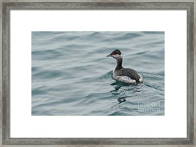 Horned Grebe Framed Print
