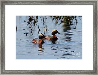 Horned Grebe Couple Framed Print