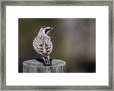 Horned Lark Framed Print