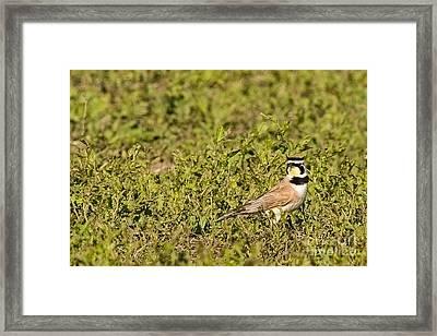 Horned Lark On The Prairie Framed Print