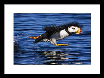 Puffin Framed Prints
