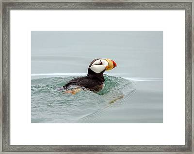 Framed Print featuring the photograph Horned Puffin by Phil Stone