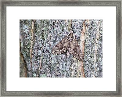 Hornworm Moth II Framed Print