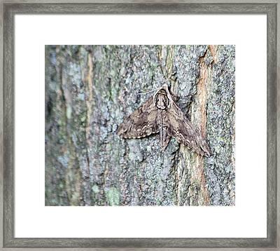 Hornworm Moth Framed Print