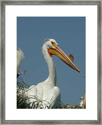 Horny Pelican Framed Print by James Peterson