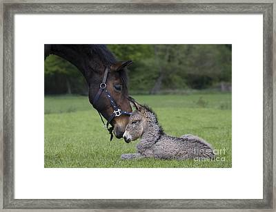 Horse And Donkey Framed Print by Jean-Louis Klein & Marie-Luce Hubert