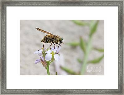 Horse Fly - Pangonius Pyritosus Framed Print by Jivko Nakev