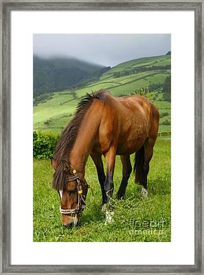 Horse Grazing Framed Print by Gaspar Avila