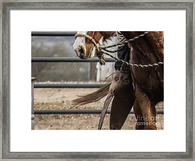 Horse In Hackamore Framed Print