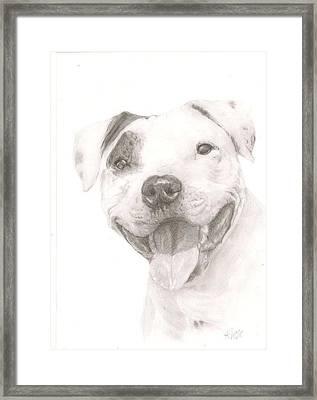 Pitbull  Framed Print by Rebecca Vose
