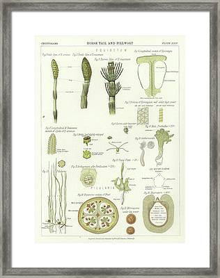 Horse Tail And Pillwort Framed Print