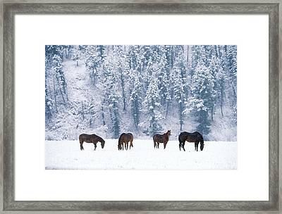 Horses In The Snow Framed Print by Alan and Sandy Carey and Photo Researchers