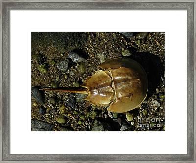Horseshoe Crab Framed Print by Jeff Breiman