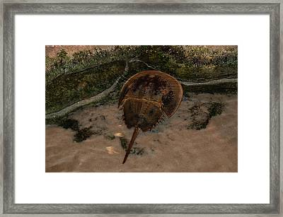 Framed Print featuring the photograph Horseshoe Crab by Kathleen Stephens