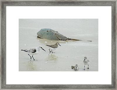 Framed Print featuring the photograph Horseshoe Crab With Migrating Shorebirds by Richard Bryce and Family