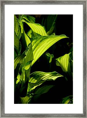 Hosta 561 Framed Print