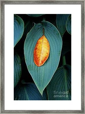 Hosta And Rhododendron Leaves Framed Print by Tim Gainey
