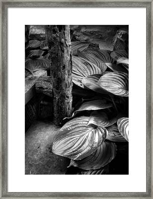 Hosta And Steps In Black And White Framed Print