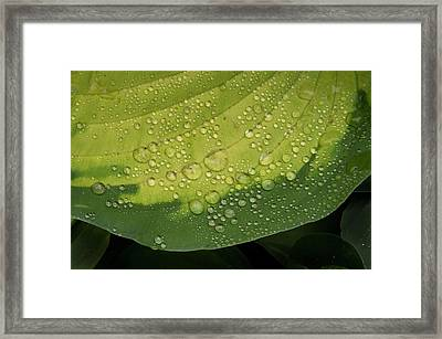 Framed Print featuring the photograph Hosta Drops by Jean Noren