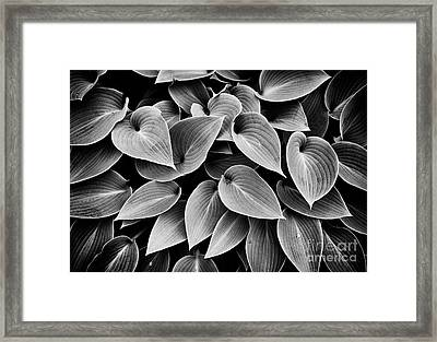 Hosta Halcyon Leaves Framed Print by Tim Gainey
