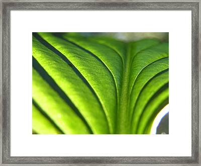 Hosta Leaf 3 Framed Print