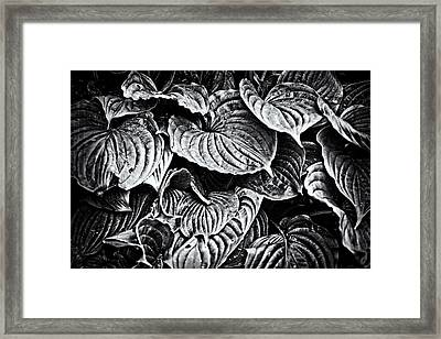 Hosta Leaves In Black And White Framed Print by Mother Nature
