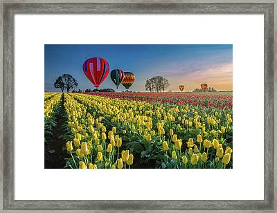Hot Air Balloons Over Tulip Fields Framed Print