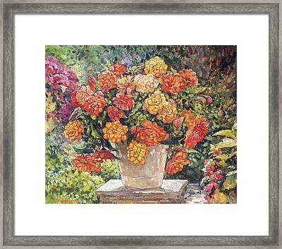 Hot Begonia Framed Print by Andrey Soldatenko