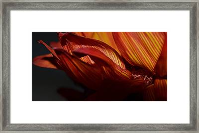 Hot Orange Sunflower Framed Print